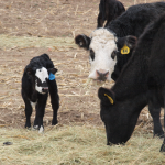 Mom cow and calf