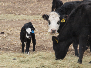 Mom and Calf at Vogel Farms